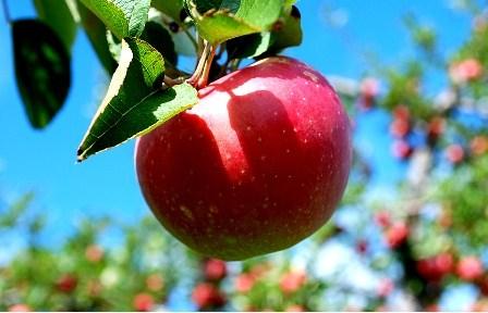 Custard Apple: Health advantages and nutritionary Facts of Sharifa
